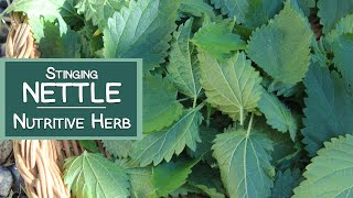 Stinging nettle is a leafy herbaceous plant that grows as a wild gr...