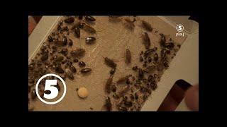 Kackerlackorna tar över köket