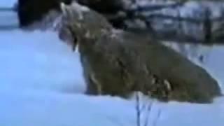 Приколы !!! Заяц против рыси