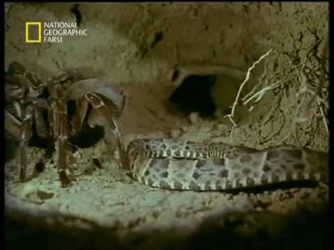 Goliath Tarantula vs Fer-de-lance Snake - جدال ديدني رتيل ...