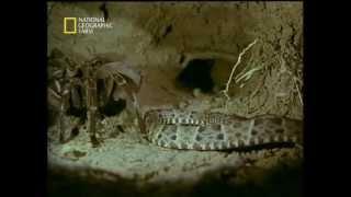 Goliath Tarantula vs Fer-de-lance Snake - جدال ديدني رتيل با مار