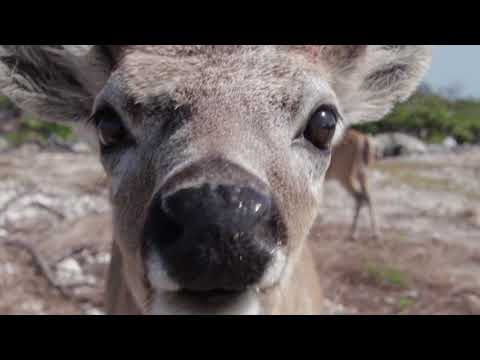 Florida Key Deer at No Name Key