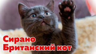 Котенок Сирано - Питомник Британских Котят в Минске