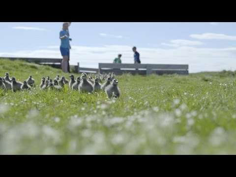 Duckling swimming lesson - Iceland: Land of Ice and Fire - Natural World - BBC Two