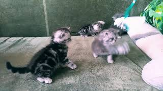 Британские котята Новосибирск