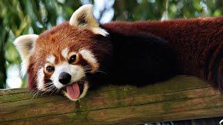 Смешные панды! Красные панды! Интересное видео про животных! Смешные Звери