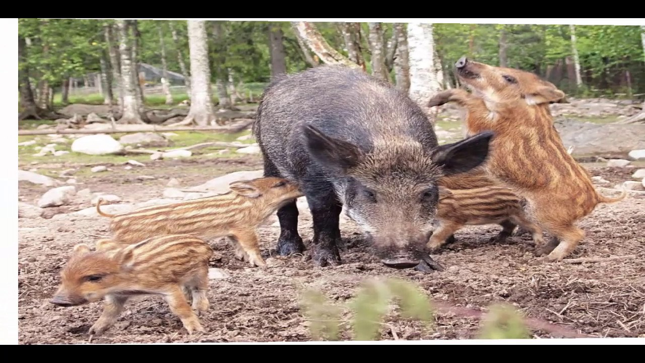Giant Wild Boars Documentary - YouTube