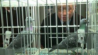 Le pigeon voyageur belge, la nouvelle passion des riches Chinois