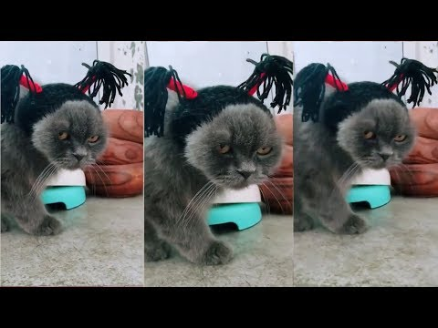 Try Not To Laugh Challenge - Funny Cat  Vines compilation 2019