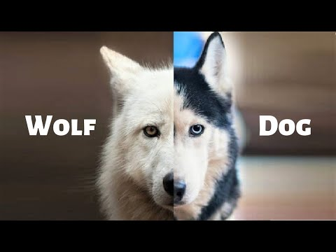15 Best Wolf Dog Breeds In The World