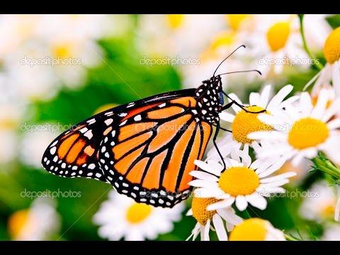 beautiful monarch butterflies on a flower youtube