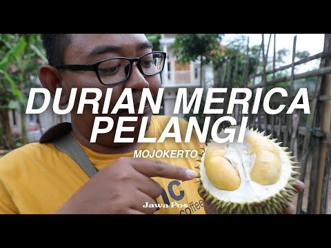 Jawa Pos Belah Durian Episode 12: Durian Merica Pelangi Mojokerto