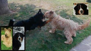 BERNESE MOUNTAIN DOG VS BRIARD: EPIC FIGHT! Masha&Lybra
