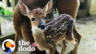 Fawn Comes To Lady's Door Every Morning | The Dodo Little But Fierce