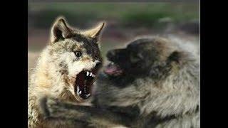 Wolf dog tries in vain to dominate Caucasian Shepherd!!!