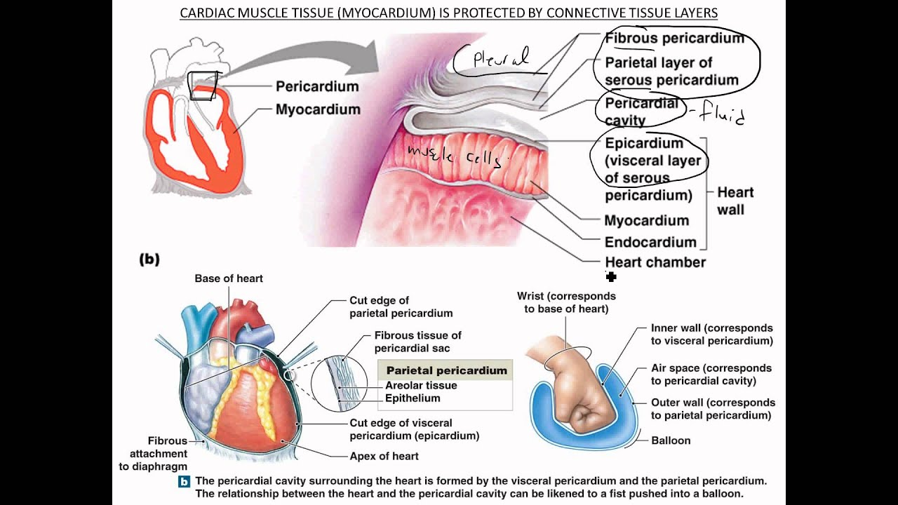 Pericardium Cardiac Muscle Tissue Youtube
