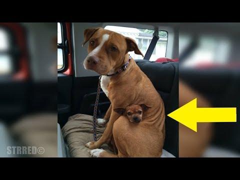 Hombre fue a adoptar a esta Pit Bull de un refugio, pero ella se negó a salir sin su mejor amigo.