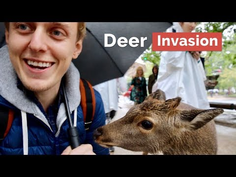 Deer Invasion in Nara, The First Capital of Japan