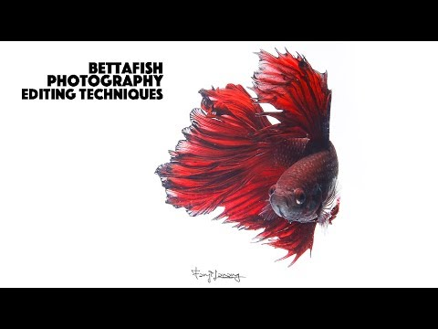 Betta Fish Photography Editing With Photoshop CC Tutorials