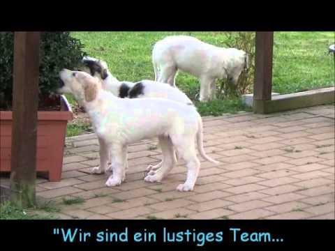 Barsoi Welpen Gewusel! Borzoi puppies bustle!