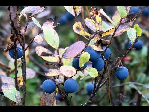 Как растет голубика фото в лесу