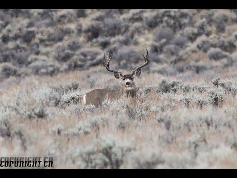 30 Plus Inch Oregon Mule Deer - 190 Class Typical Buck