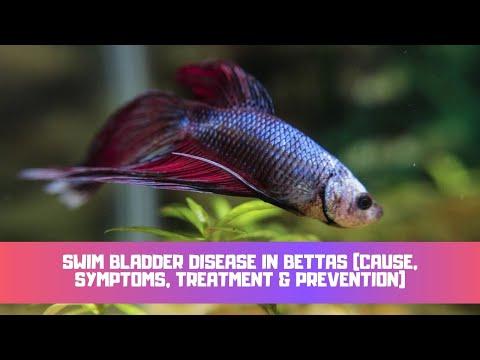 Swim Bladder Disease In Bettas (Cause, Symptoms, Treatment & Prevention)