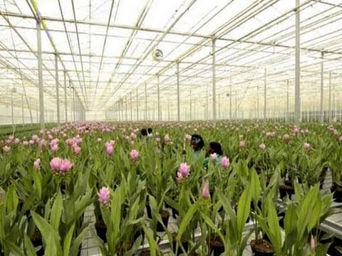 Durban Greenhouse Grows Thousands of Tulips
