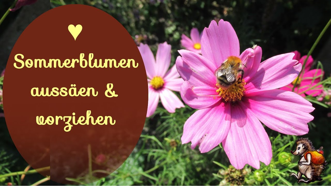 sommerblumen auss en vorziehen blumen garten bienenweide youtube. Black Bedroom Furniture Sets. Home Design Ideas