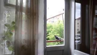 Голубь бьётся в окно