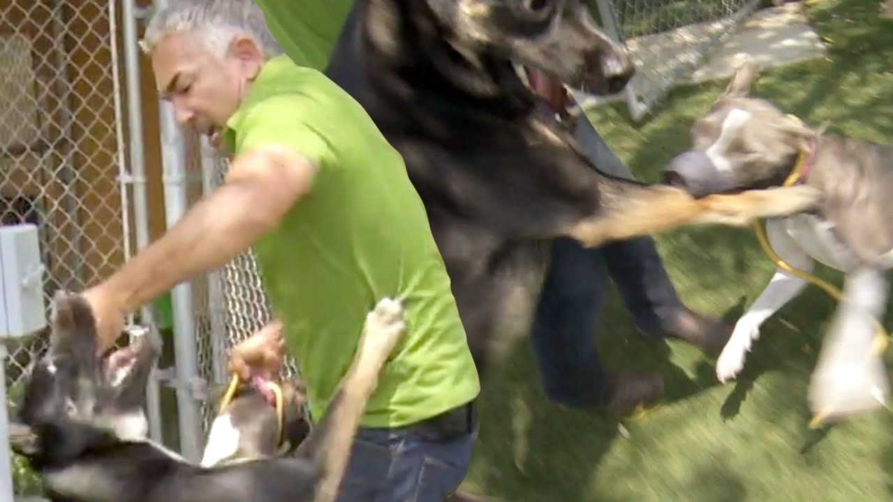 Download Cesar Millan Breaks Up A Dangerous Pitbull and German Shepherd Dog Fight   Cesar 911