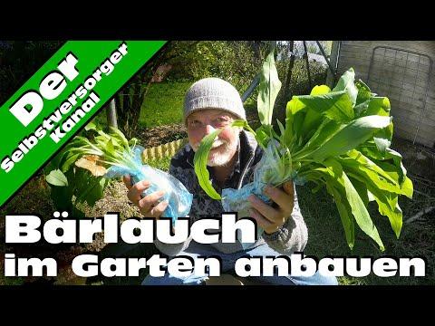 Baerlauch selbst im Garten anbauen
