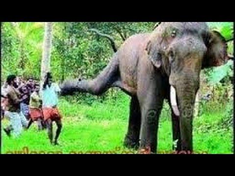 Elephant Rampage in Ambalappuzha Sri Krishna Hindu Temple ...
