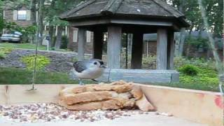 Tufted Titmouse ♥ Eating Peanut Butter Sandwich - Bird Video 6