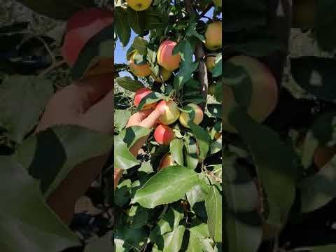 урожайность сортов гала маст и озарк голд