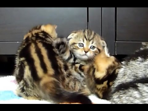 Cute Kittens meowing while playing