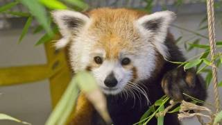 Red Pandas Join San Jose's Happy Hollow Park & Zoo