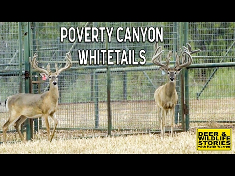 Poverty Canyon Whitetails | Deer & Wildlife Stories