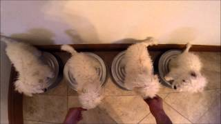 Maltipoo Puppies Training Sit And Stay