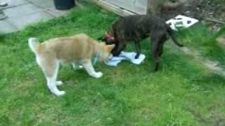 Staffordshire Bull Terrier  Japanese Akita Play Fighting