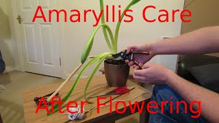 Amaryllis care, after flowering