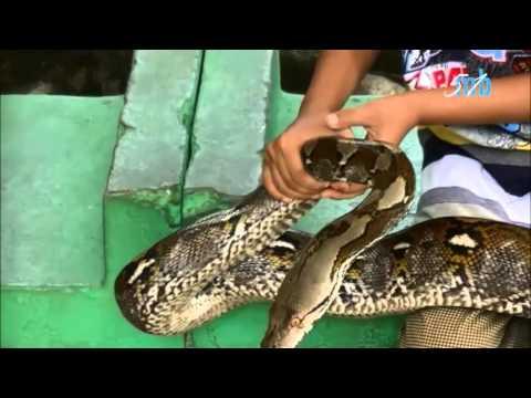 Museum komodo taman mini indonesia indah,anak kecil lagi pegang ular
