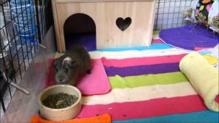 Choosing Your New Guinea Pigs: Males or Females?