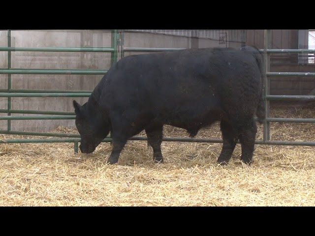 Schiefelbein Angus Farms Lot 181