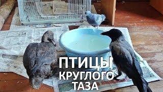 ПТИЧИЙ БЕСПРЕДЕЛ. ПТИЦЫ КРУГЛОГО ТАЗИКА (утка, ворона, голуби, собаки и кошки)