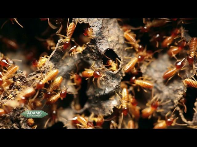 Adams Exterminators - Termites