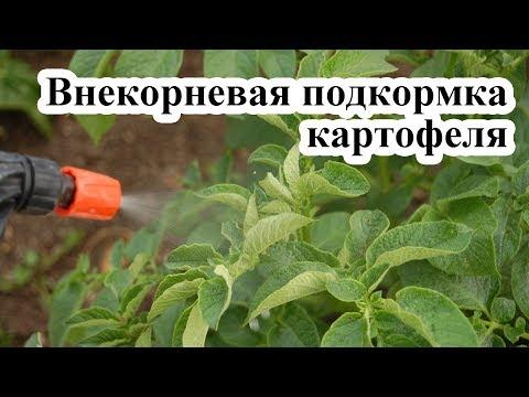 Вопрос: Нужно ли полоть картофель Мешает ли ему трава для роста?
