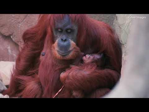 Adorable video of a rare newborn Sumatran orangutan at Chester Zoo