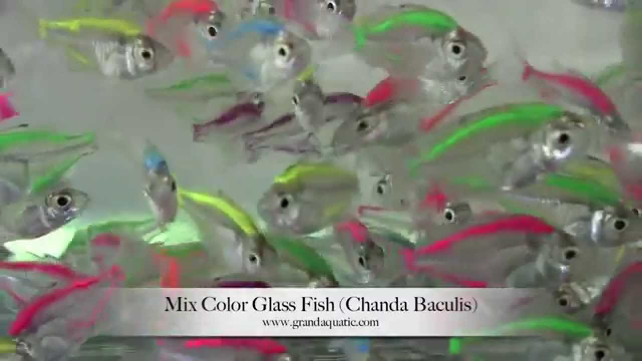 Copy of glass fish mix color (Chanda Baculis) / Aquarium Tropical ...