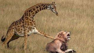 Mother Giraffe kicks Lion head and kills it to save her baby, harsh life of Wild Animals